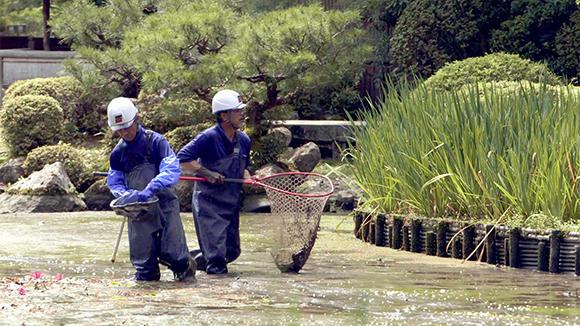 鯉などの大きな生き物は網ですくって保護する